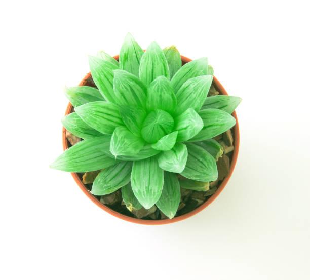 Sukkulenten Pflanze im Topf auf weißem Hintergrund – Foto