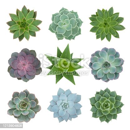 Succulents plants - top view - sempervivum, aloe mitriformis and echeveria isolated on white background