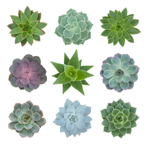 Succulents Plants Collection on White stock photo
