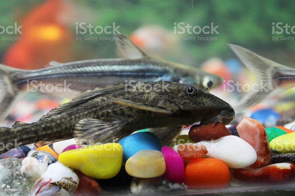 Sucker Fish stock photo