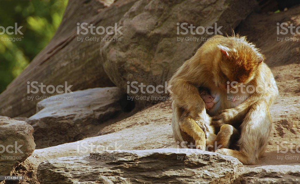 Suckling Barbary Macaque royalty-free stock photo
