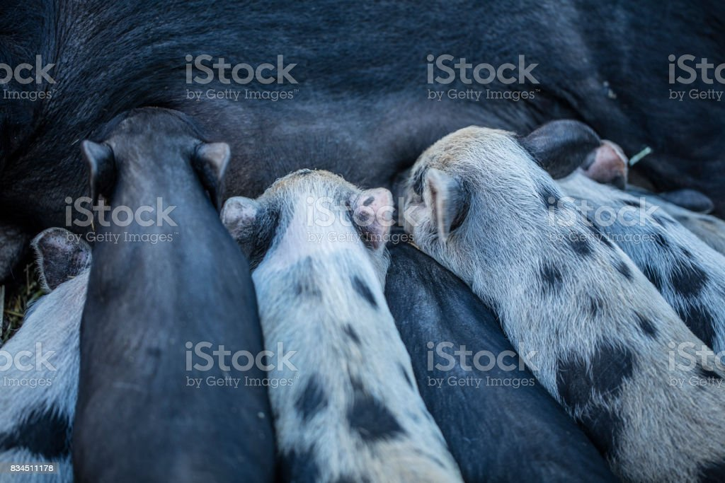 Suckling Piglets stock photo