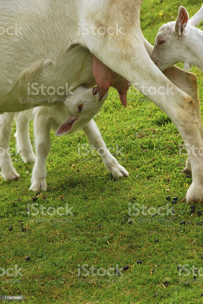 Suckling Saanen kid goat. royalty-free stock photo