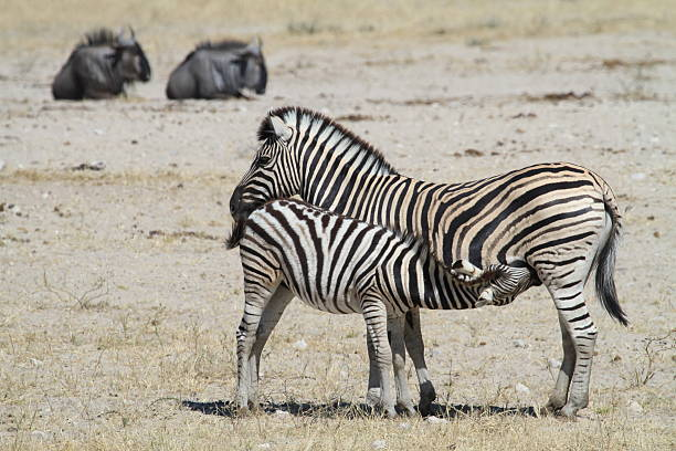 Suckling Zebra foal stock photo