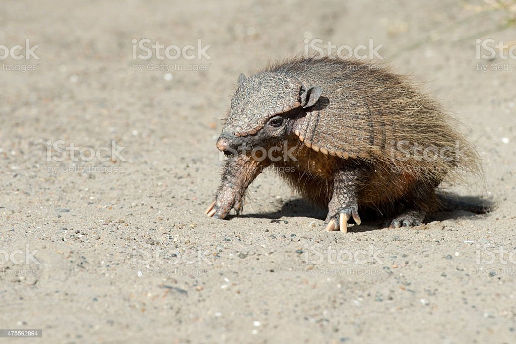 Sud America armadillo close up portrait stock photo