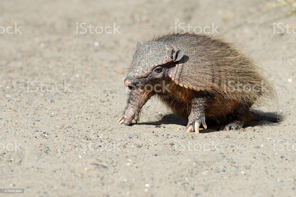 Sud America armadillo Retrato de primer plano - foto de stock
