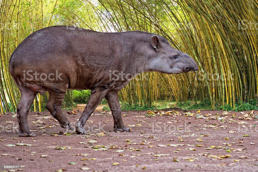 Sud american Tapir close up portrait in the jungle stock photo