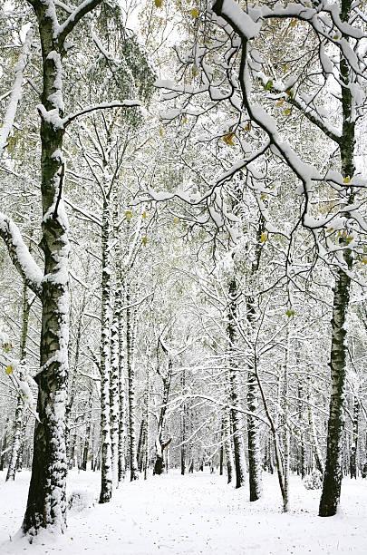 Suddenly fallen fluffy snow in the autumn birch forest – Foto