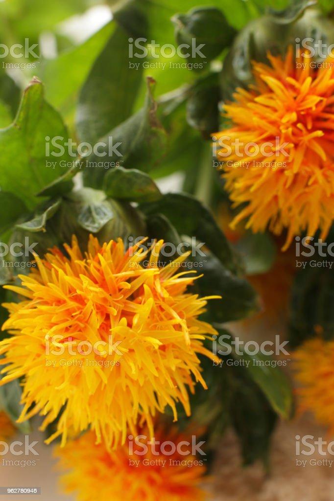 Sufflower close up - Foto stock royalty-free di Ambientazione interna