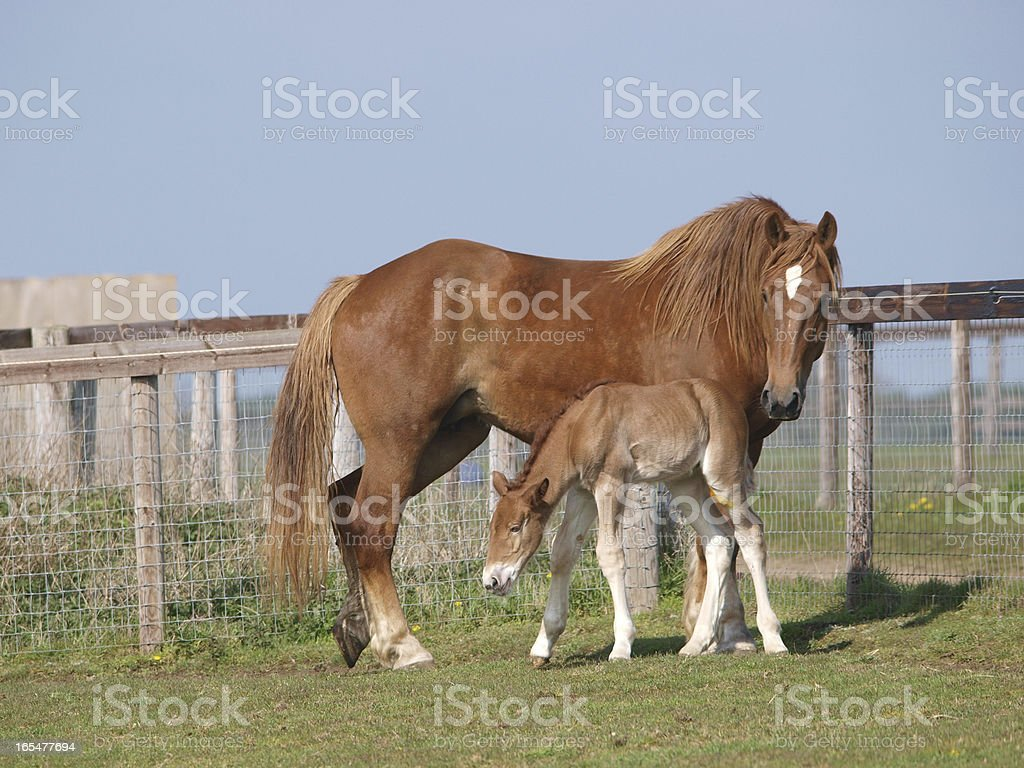 Suffolk Horse Mare and Foal royalty-free stock photo