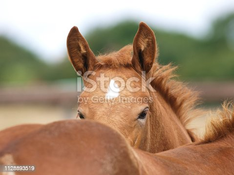 Two cute rare breed Suffolk Punch Foals next to each other in a paddock