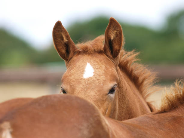 suffolk punch foals - fohlen stock-fotos und bilder
