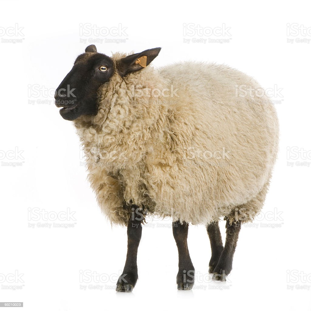Suffolk Sheep stock photo