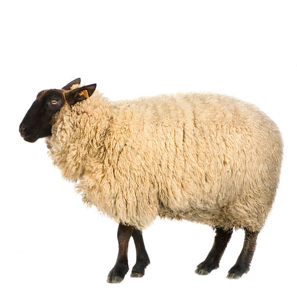 suffolk sheep - sheep stock photos and pictures