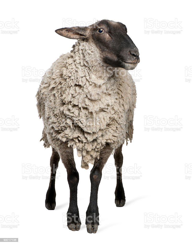 Suffolk sheep - (6 years old) stock photo