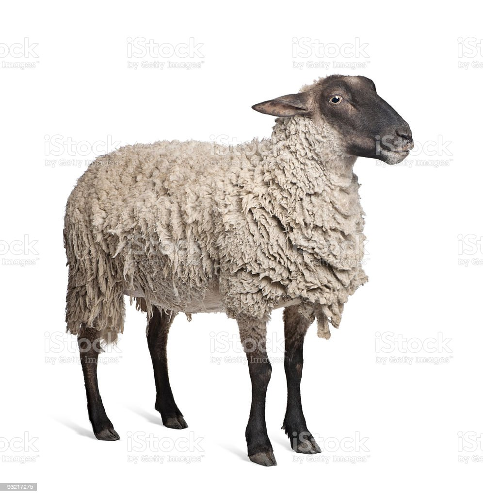 Suffolk sheep (6 years old) stock photo