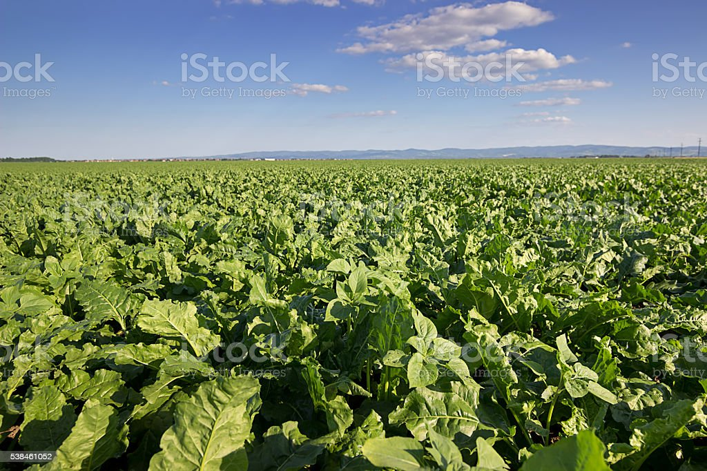 Sugar beet crops field, agricultural landscape stock photo