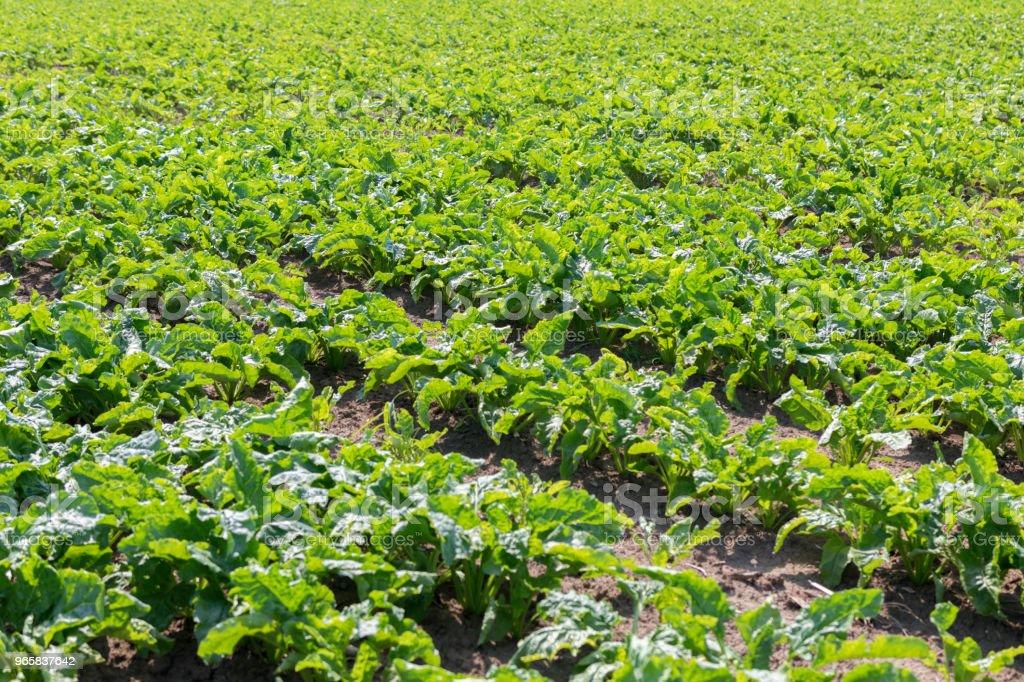 Suikerbieten veld. Groene suikerbieten in de grond. - Royalty-free Achtergrond - Thema Stockfoto