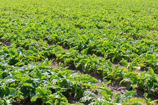 Suikerbieten Veld Groene Suikerbieten In De Grond Stockfoto en meer beelden van Achtergrond - Thema