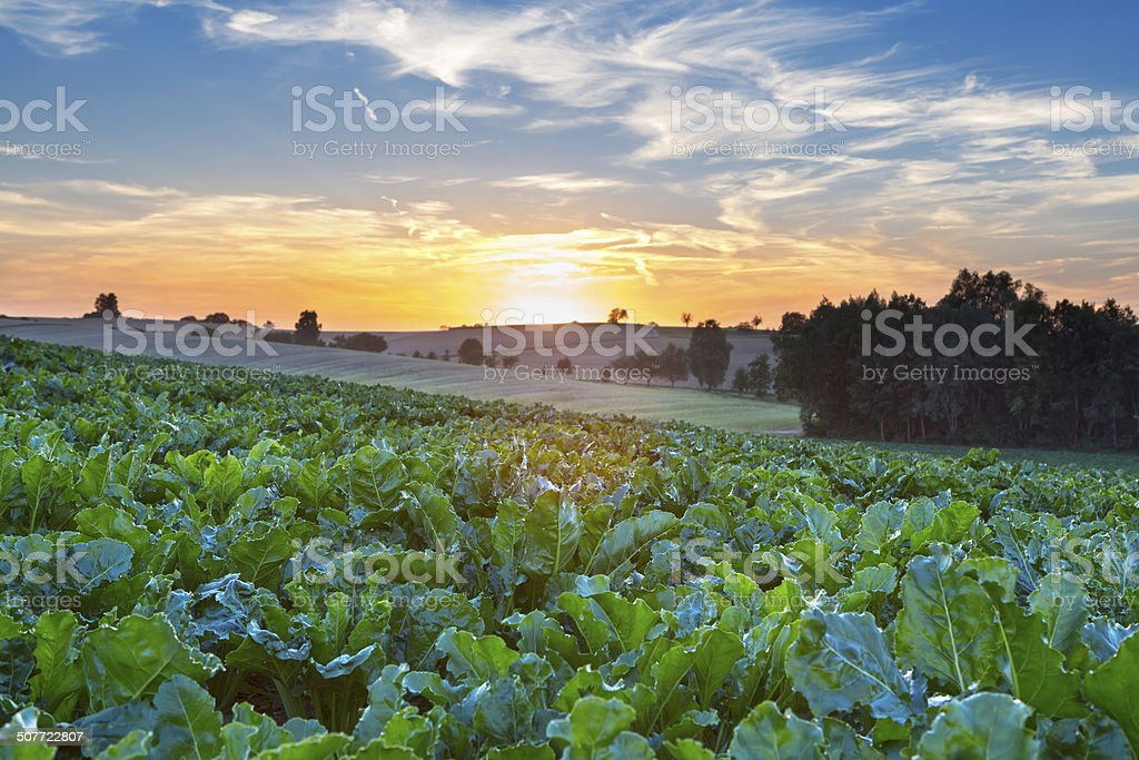 Sugar beet field in agricultural german landscape at dawn stock photo