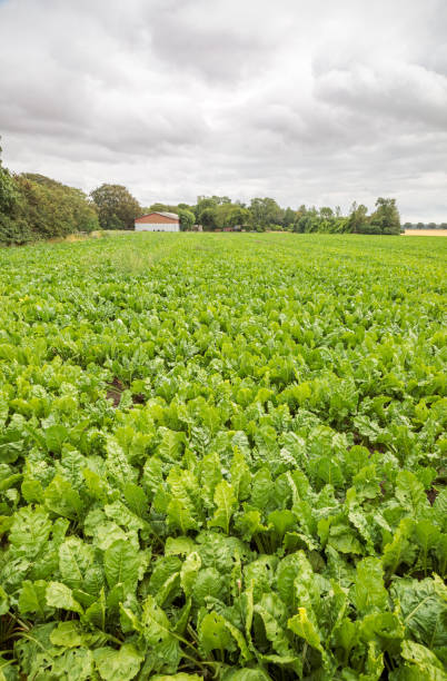 Sugar beet field stock photo