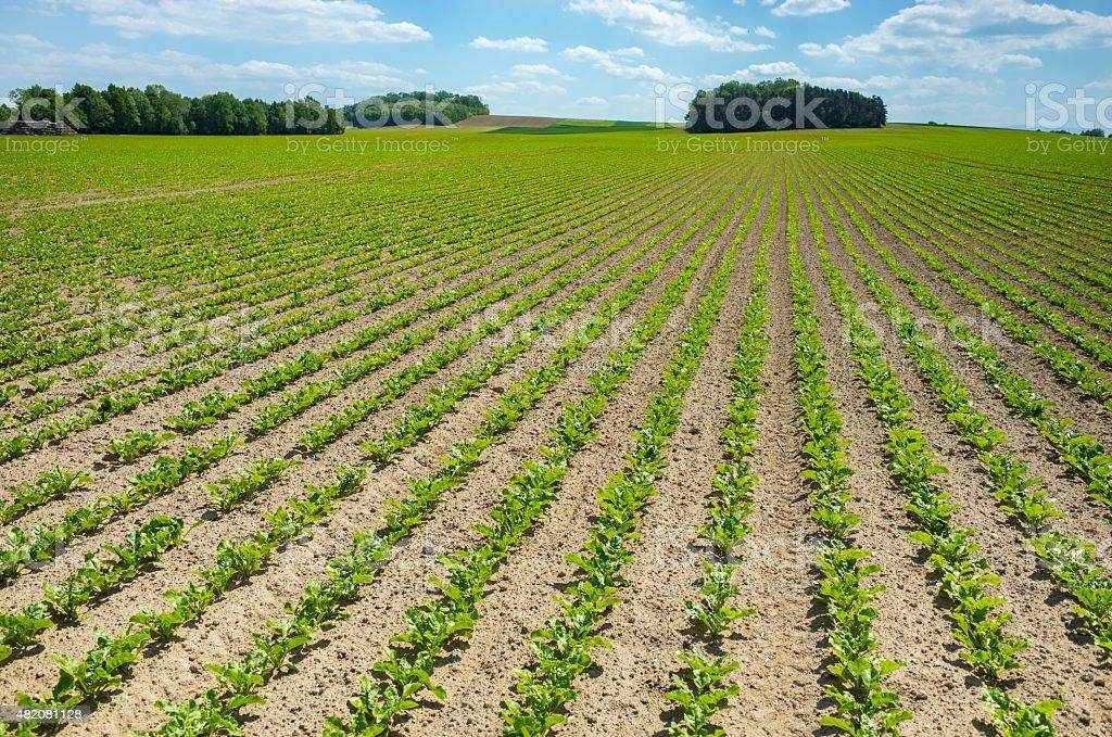 Sugar beet field stock photo