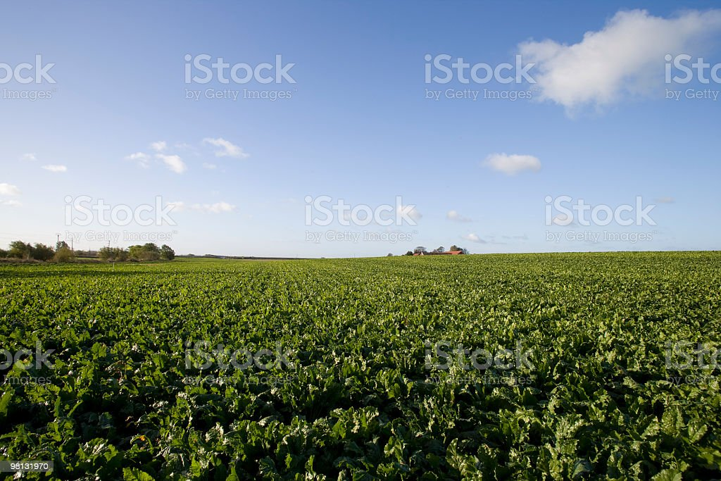 Sugar beet field royalty-free stock photo