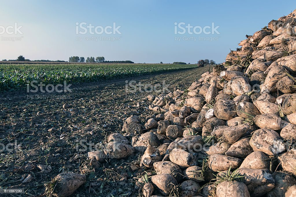 Sugar beet harvest. The pile of sugar beet. stock photo