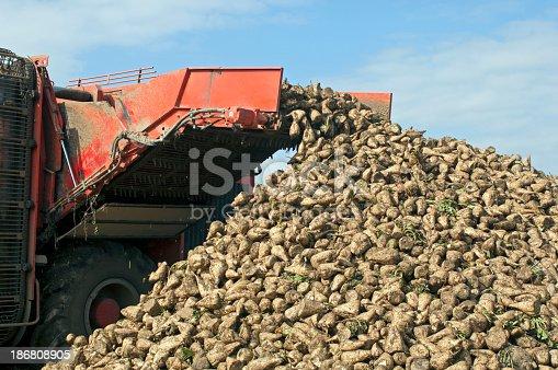 Harvester is harvesting sugar beet at the field