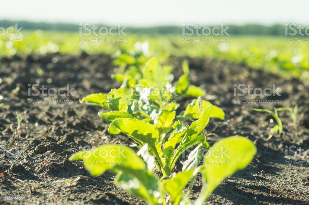 Sugar beet, sugar beet sprouts field royalty-free stock photo