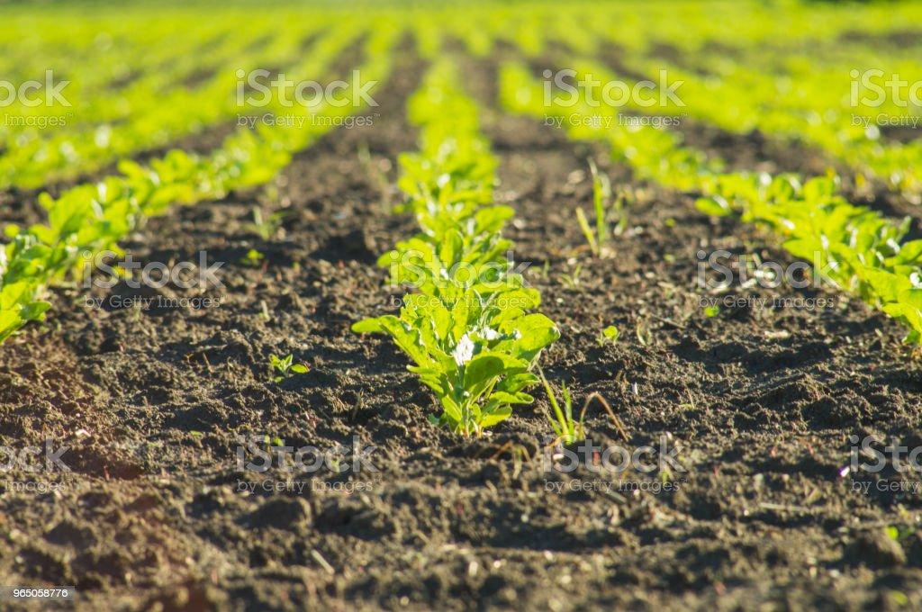 Sugar beet, sugar beet sprouts field zbiór zdjęć royalty-free