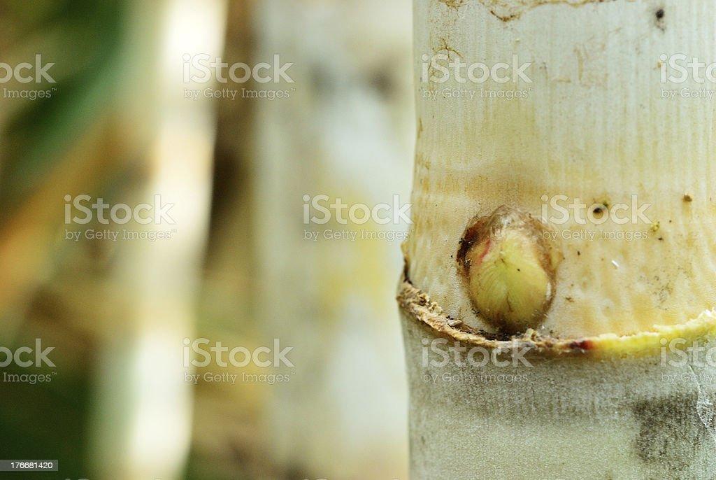 Sugar cane background royalty-free stock photo