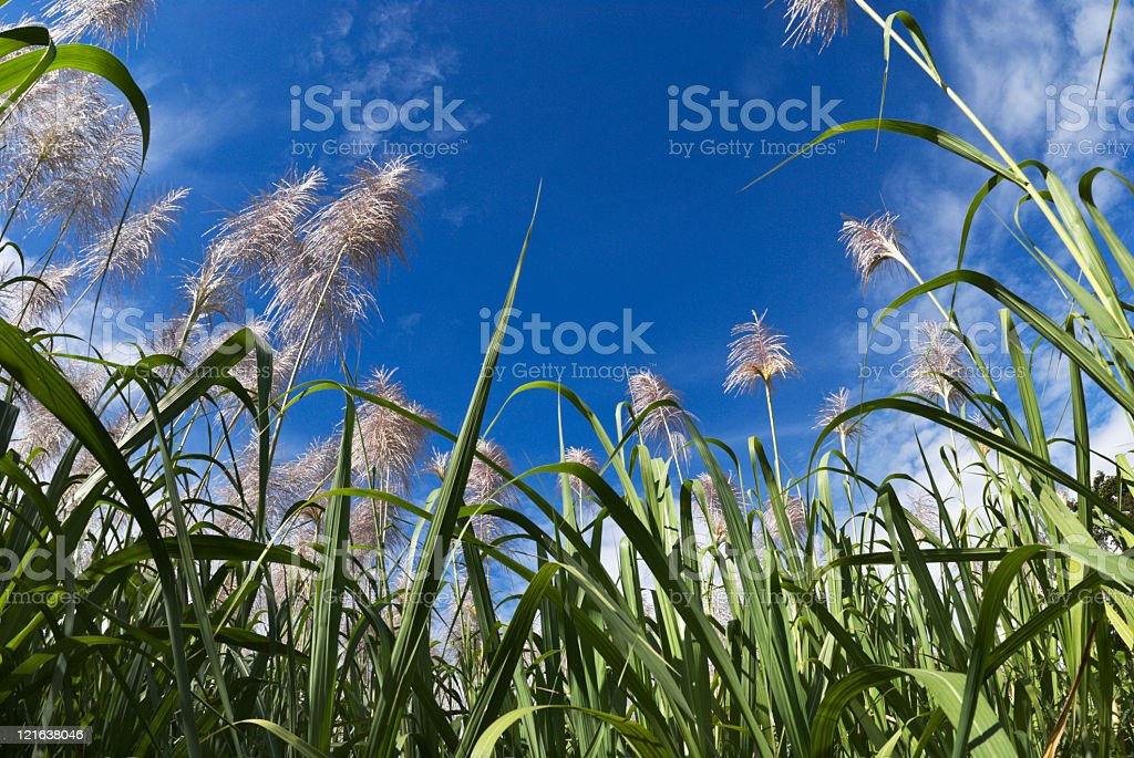 Sugar cane blossoms royalty-free stock photo