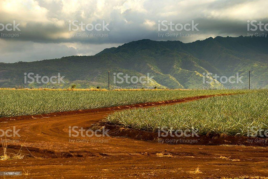 Sugar Cane Farm Field royalty-free stock photo