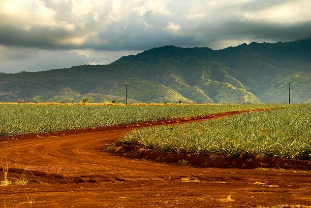 Sugar Cane Farm Field stock photo