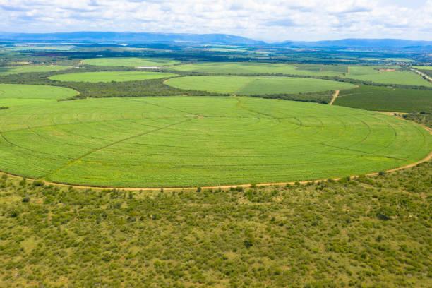 Sugar Cane farm. Sugar cane fields view from the sky. stock photo