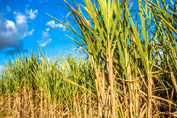 Sugar cane field and blue sky in Brazil stock photo