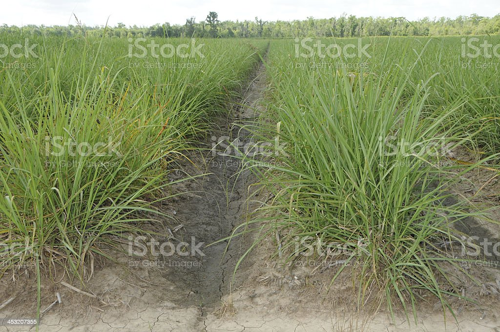 Sugar Cane Field in  Late Spring royalty-free stock photo