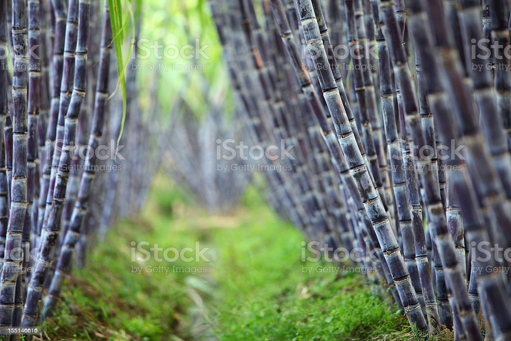 Sugar cane field royalty-free stock photo
