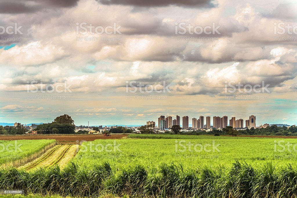 Sugar cane field stock photo