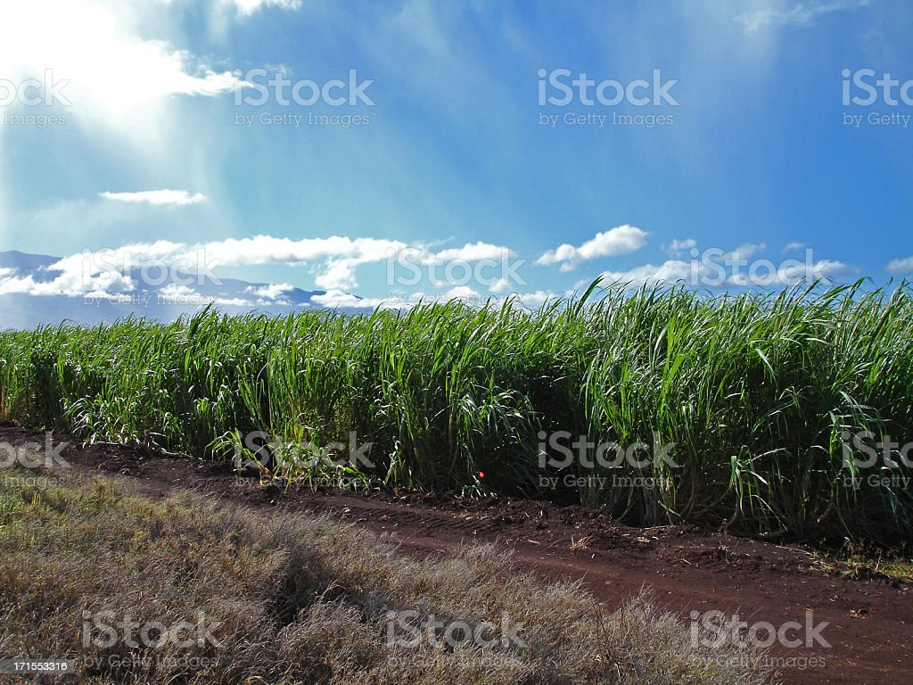 Sugar Cane Fields royalty-free stock photo