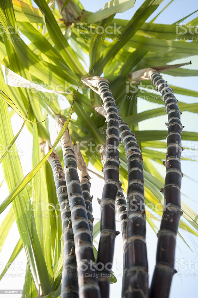 Sugar Cane From Below royalty-free stock photo