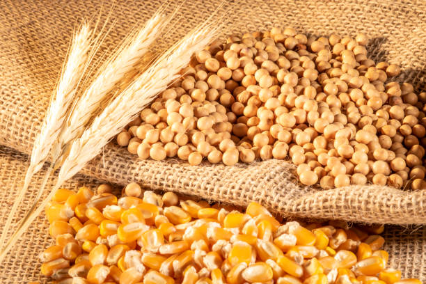 Sugar cane harvesting in Brazil stock photo