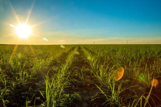 sugar cane - plantage stock-fotos und bilder