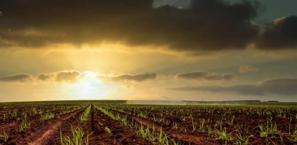 Sugar Cane plantation field sunset Sugar Cane plantation field sunset sugar cane stock pictures, royalty-free photos & images