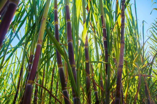 Zuckerrohrplantage – Foto