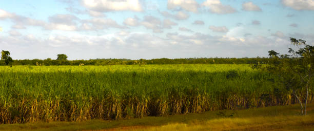 Sugar Cane Plantation Cuba Pictures Images And Stock Photos
