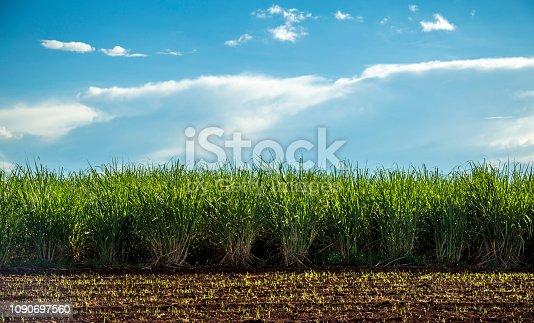 istock Sugar cane plantation sunset 1090697560