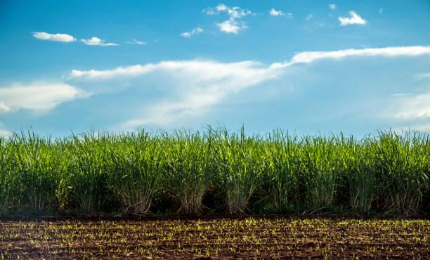 zuckerrohr-plantage-sonnenuntergang - plantage stock-fotos und bilder