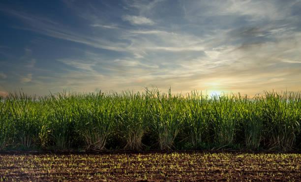 Sugar cane plantation sunset Sugar cane plantation sunset sugar cane stock pictures, royalty-free photos & images